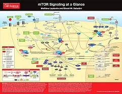 mTOR-Signaling at a Glance